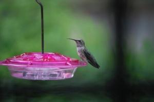 Anna's Hummingbird On Feeder