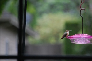 Rufous Humming Bird On Feeder