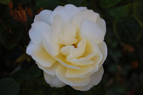 Creamy Rose - Garden Bloggers Bloom Day