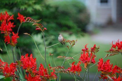 Rufous Hummingbird On Crocosmia