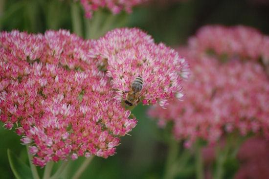 Bees On Sedum Autumn Joy - Garden Bloggers Bloom Day - September