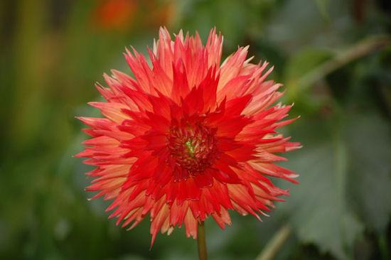 Cheyenne - Garden Bloggers Bloom Day - September