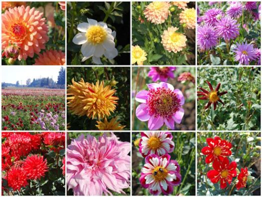 Mosaic Monday - Fall Nature Trip To A Dahlia Farm