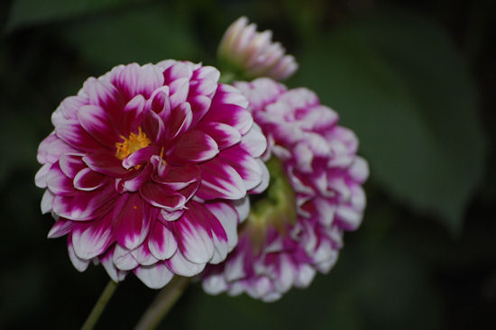 Purple And White Dahlia - Garden Bloggers Bloom Day - September
