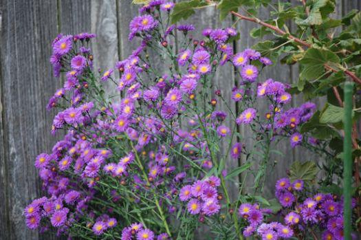 Purple Aster - Garden Bloggers Bloom Day - September