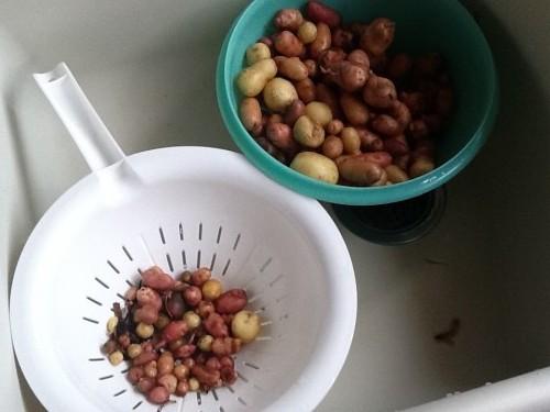 Potatoes In Grow Bags - Final Harvest