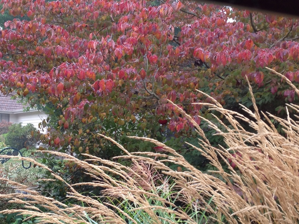 Autumn Dogwood And Grass