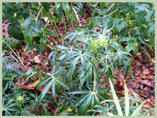 Stinking Hellebore With Buds