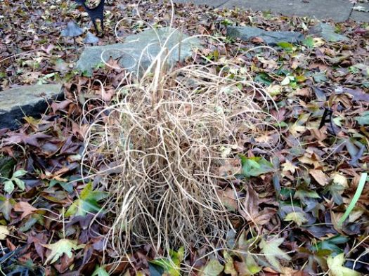 Miscanthus In Winter - What To Do In The Garden In January