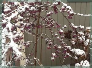 Beauty Berries In Snow