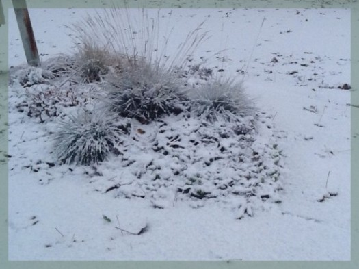 First Snow On Cluster Of Grasses