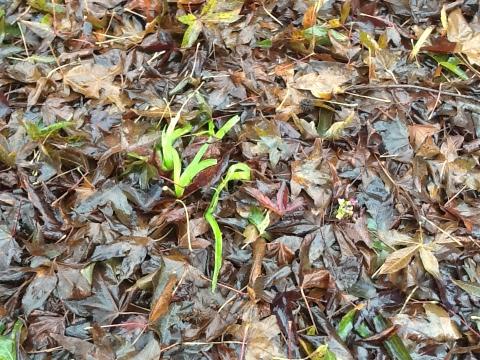 Daylilies Shoots