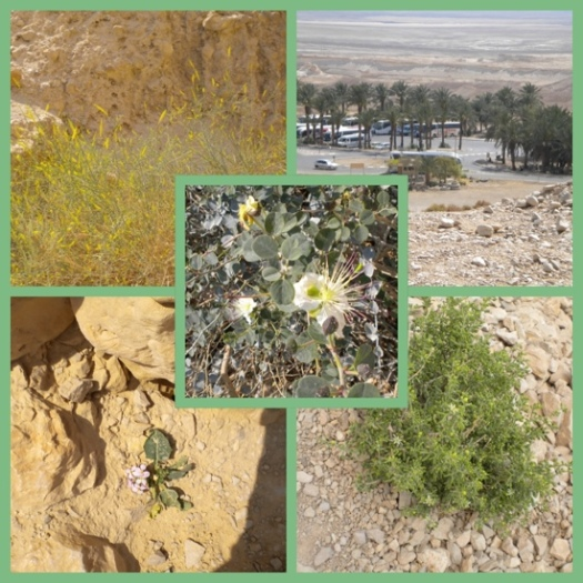Vegetation At Masada
