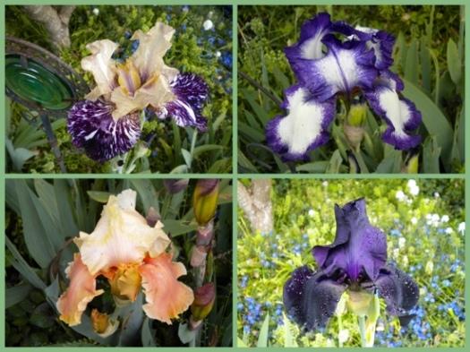 Even More Irises