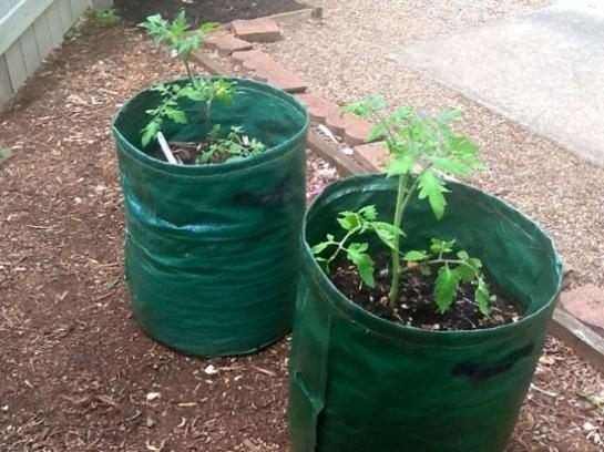 Tomatoes In Grow Bags Season 2