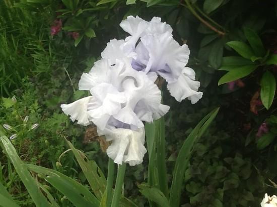 Last of the Irises 2