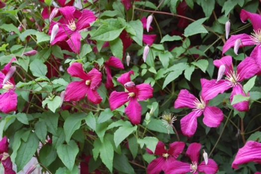 Beautiful Red Clematis