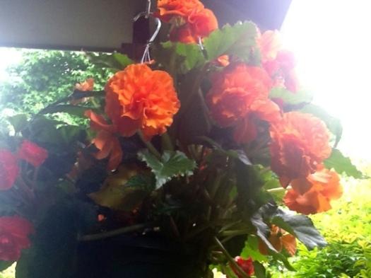 Tuberous Begonia
