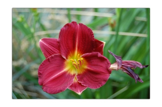 Red Daylily 2