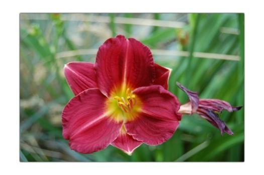 Red Daylily 2