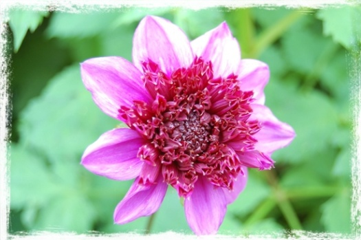 Pink Dahlia With Center Puff
