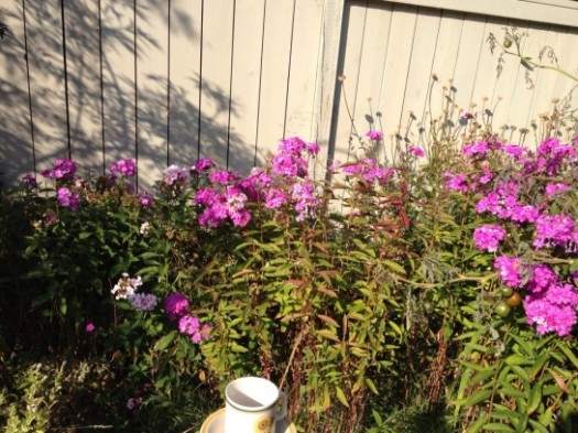 Phlox Next To Tomato Plants