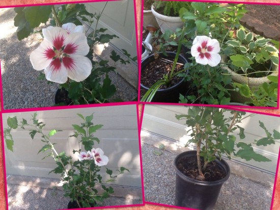 New Rose Of Sharon