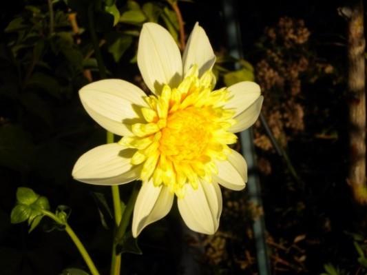 New Yellow Dahlia