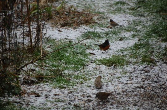 Junco, Sparrow & Towhee In Snow