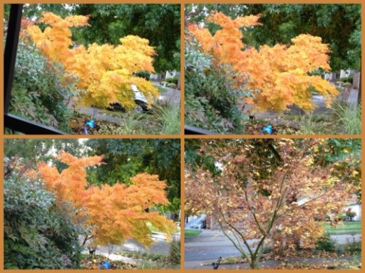 Coral Bark Maple Color Transformation