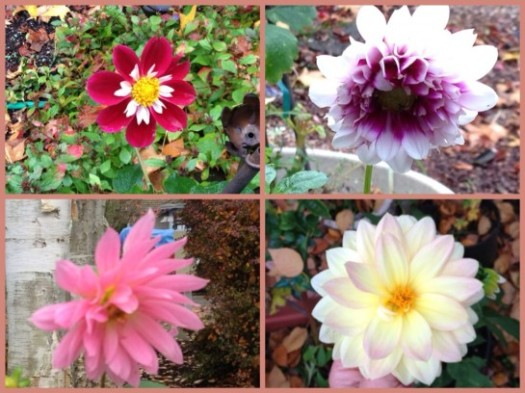 Dahlias Still Blooming