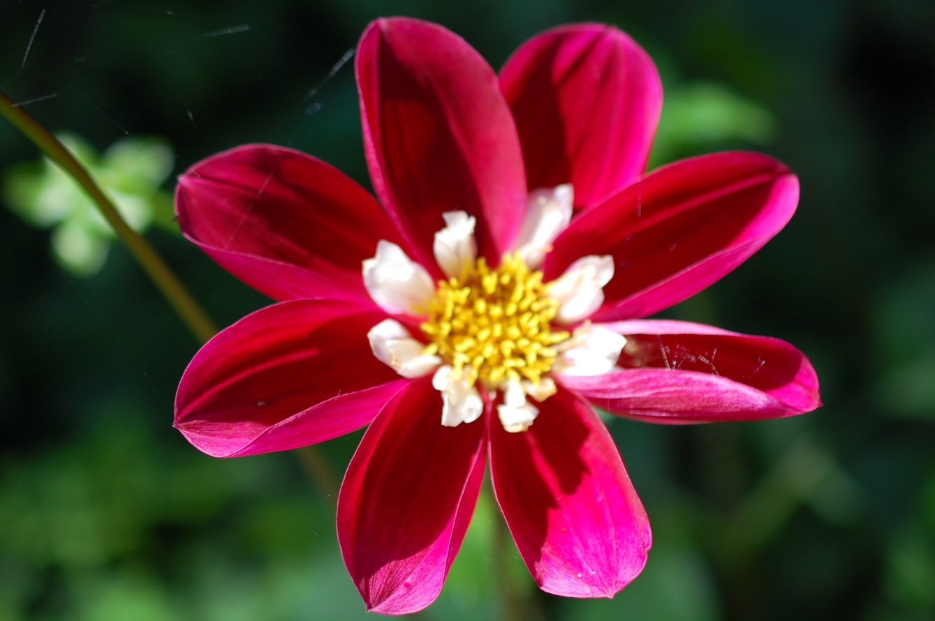 Red Pinwheel Dahlia