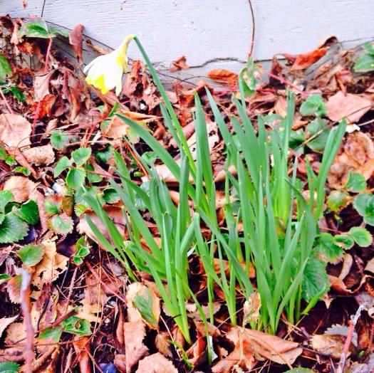 Daffodil Greetings