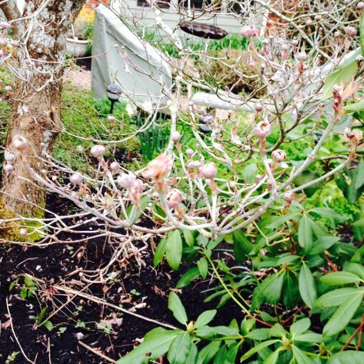 Dogwood Flowers Opening