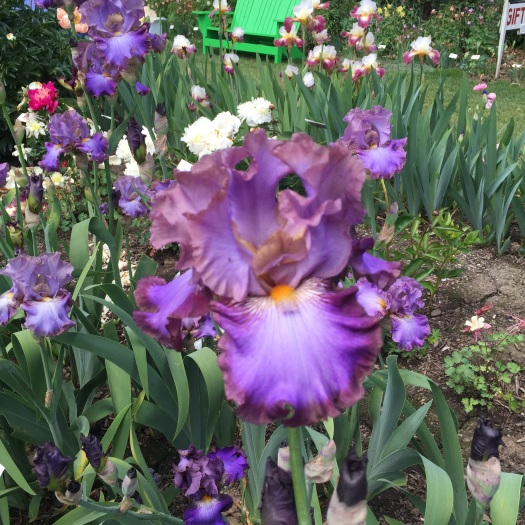 Dusky Purple Iris