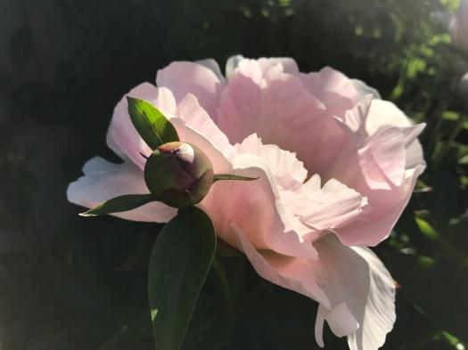 Pale Pink Peony