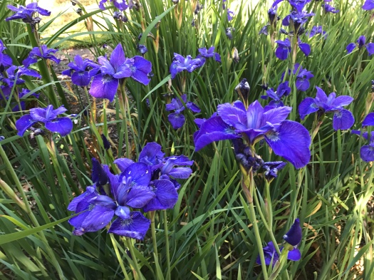 Blue Siberian Iris