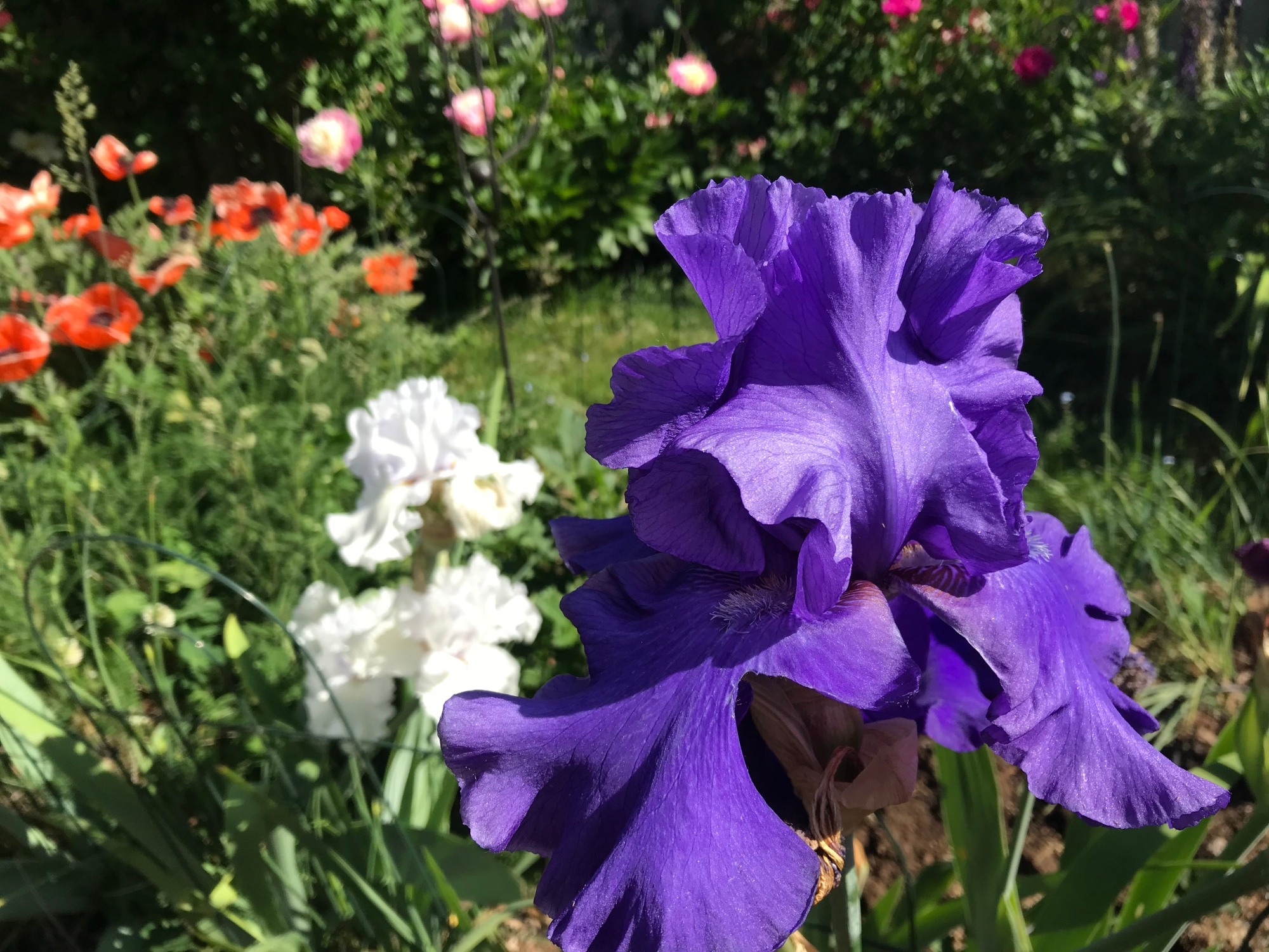 Irises In My Garden
